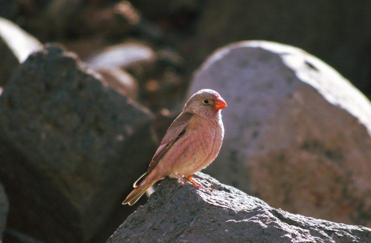 Aves viajeras Fuerteventura | Macaronesia Fuerteventura