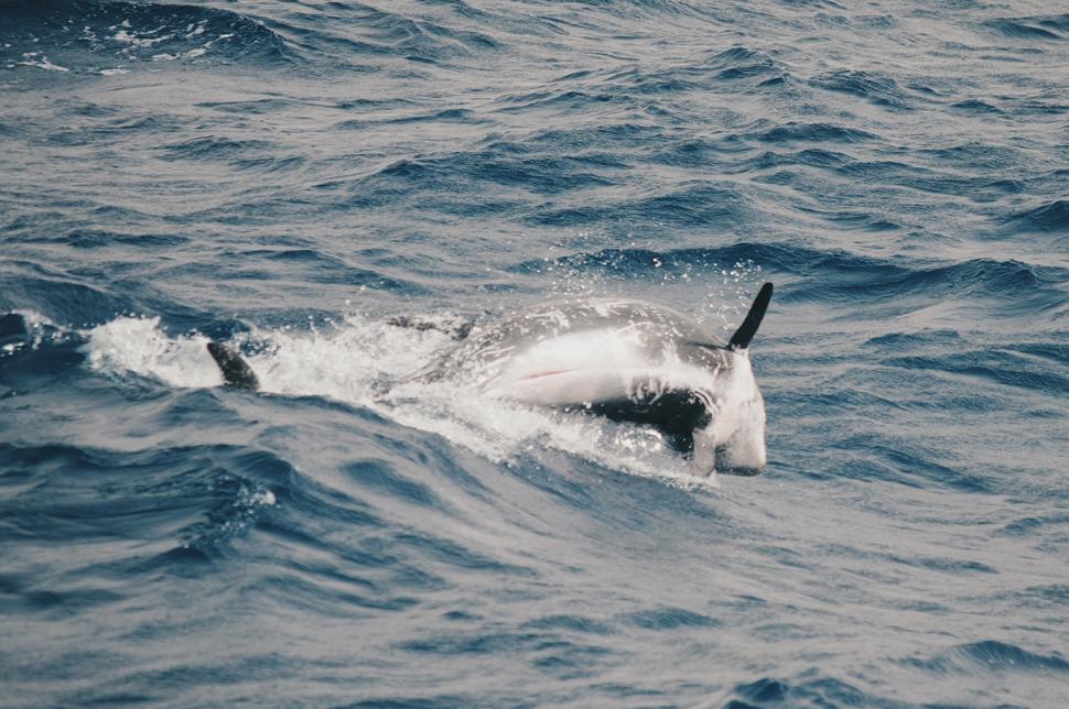 A special skin: risso's dolphin | Macaronesia Fuerteventura