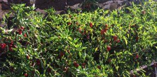 Huertos comunitarios | Macaronesia Fuerteventura