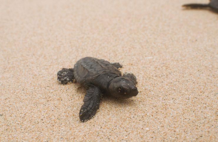 Biodiversidad: Tartarugas | Macaronesia Fuerteventura