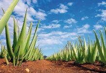 Aloe Vera de Fuerteventura | Macaronesia Fuerteventura