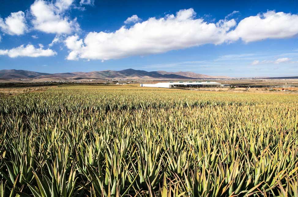 Alo vera Fuerteventura | Macaronesia Fuerteventura