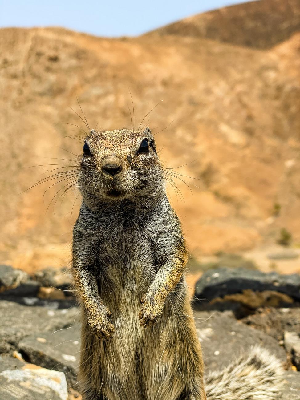 Ardilla en el Mirador de Las Peñitas en Betancuria | Macaronesia Fuerteventura