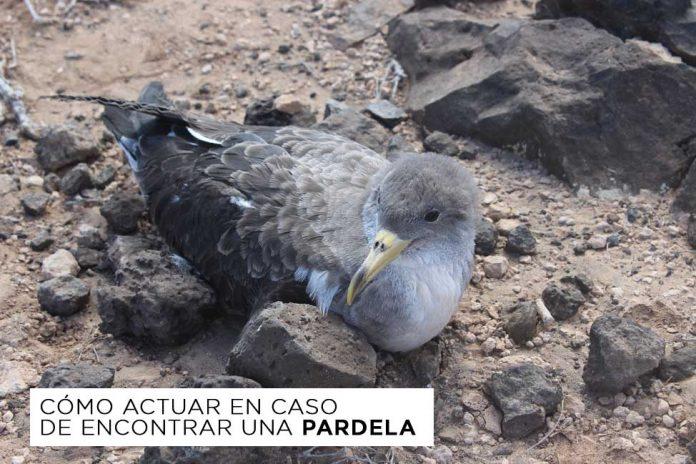 Cómo actuar en caso de encontrar una pardela | Macaronesia Fuerteventura